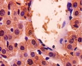 华美生物多克隆抗体GAPDH Antibody