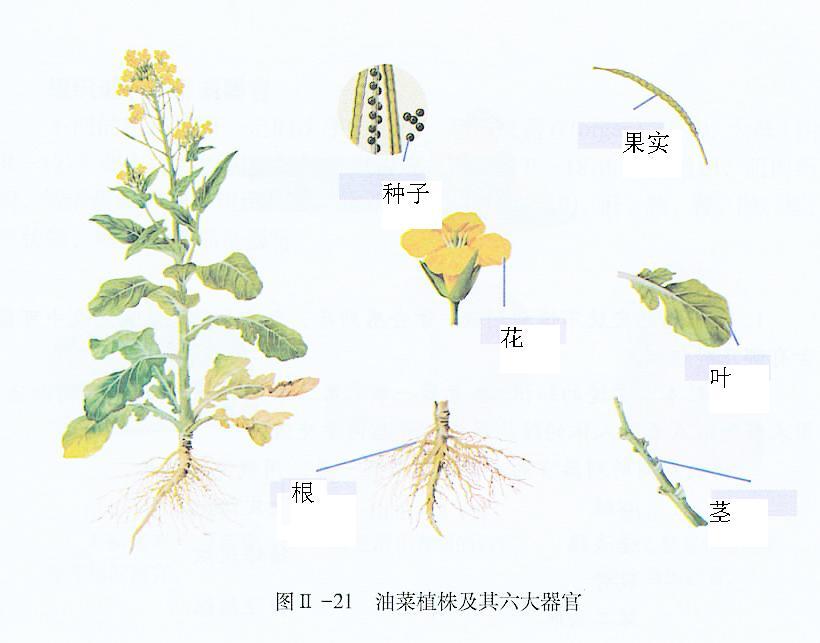 植物结构模型