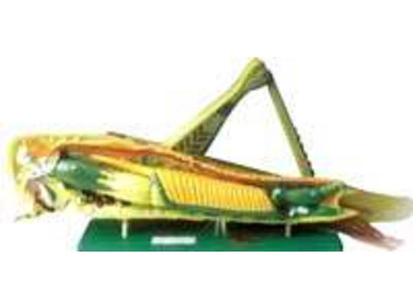 蝗虫解剖模型