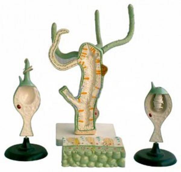 水螅解剖模型