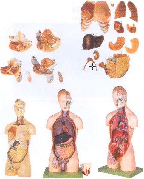 GD/A10002男性、女性外两性互换人体头颈躯干模型(尺寸