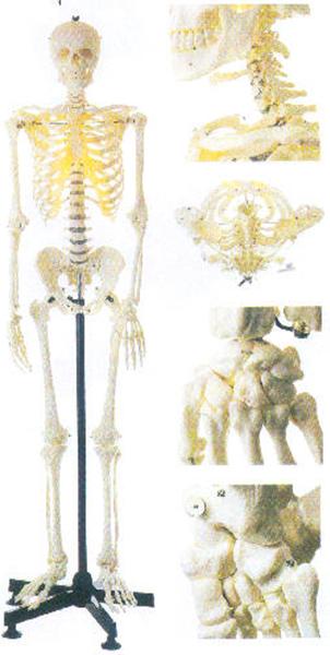 GD/A11101/2女性全身骨骼模型(162cm,进口PV