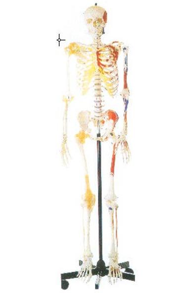 GD/A11102/1男性全身骨骼附半身肌肉着色附韧带模型(