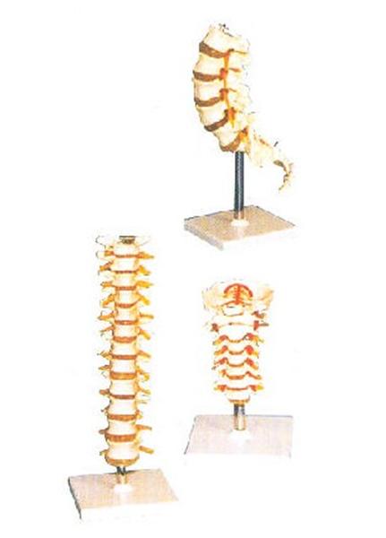 GD/A11107颈椎模型(尺寸:自然大,进口PVC材料)