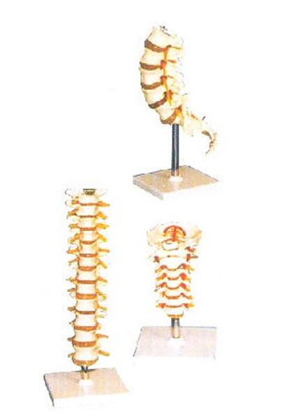 GD/A11109腰椎模型(自然大,进口pvc材料)