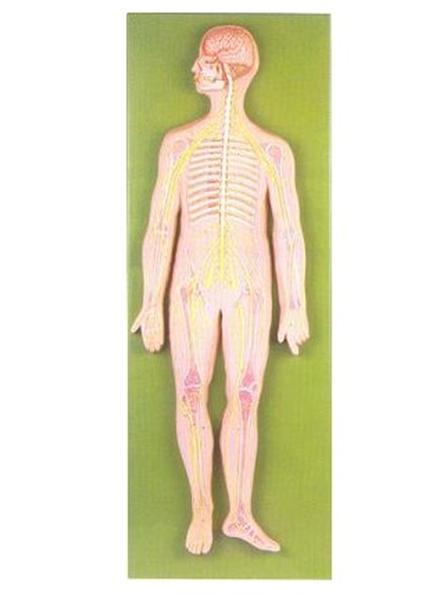 GD/A18101神经系统模型(尺寸:约为自然尺寸的1/2,