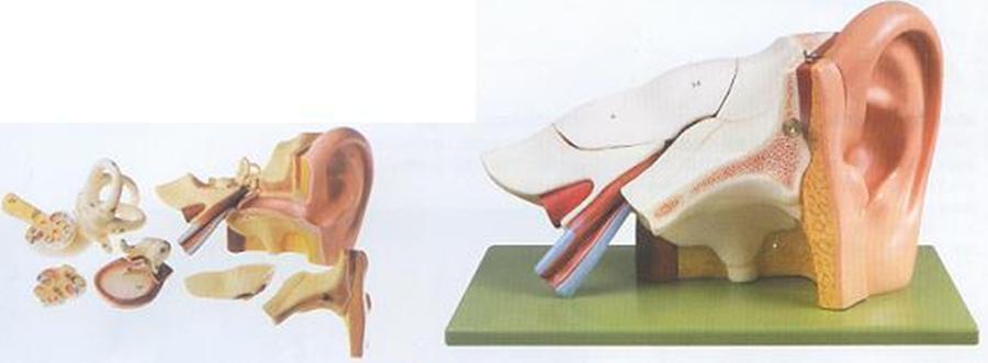 GD/A17201耳放大模型(尺寸:放大约3倍,高18cm,