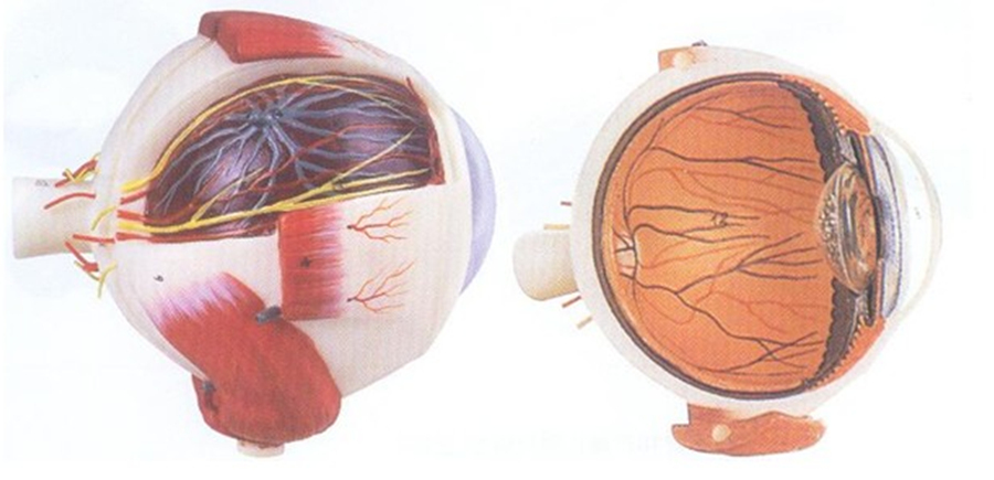 GD/A17101眼球放大模型(尺寸:放大约5倍,高21cm