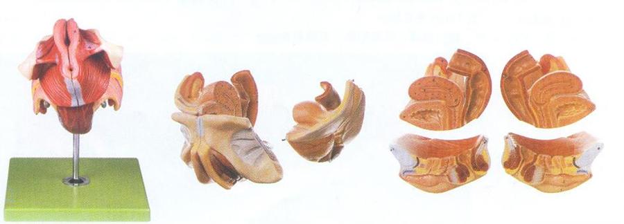 GD/A15105女性生殖器官结构模型(尺寸:自然大,高12