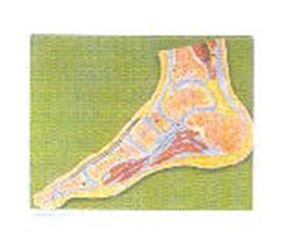 GD/A11207足关节剖面模型(尺寸:自然大,固定在基板上