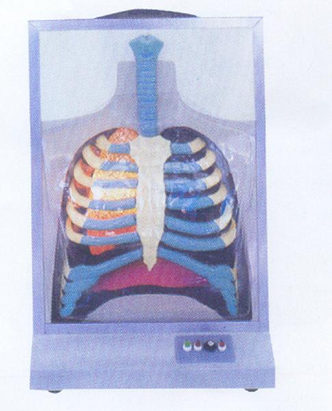 GD/A13015电动人体呼吸系统模型(尺寸: 490×23