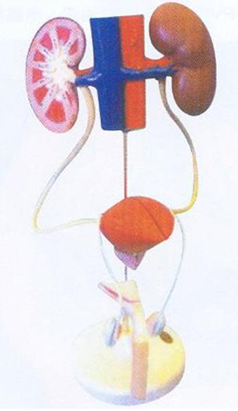 GD/A14003男性泌尿系统模型(尺寸:为自然尺寸,模型置