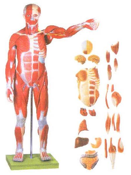GD/A11301/2人体全身肌肉附内脏模型(尺寸:自然高1