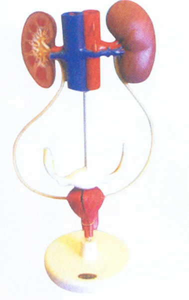 GD/A14002女性泌尿系统模型(尺寸:为自然尺寸,模型置