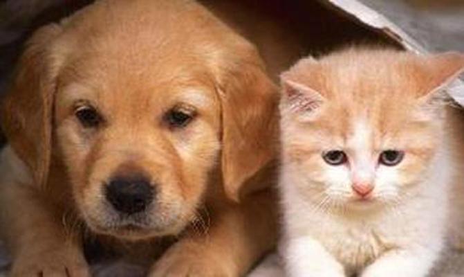 犬和猫怀孕金标检测(5次)