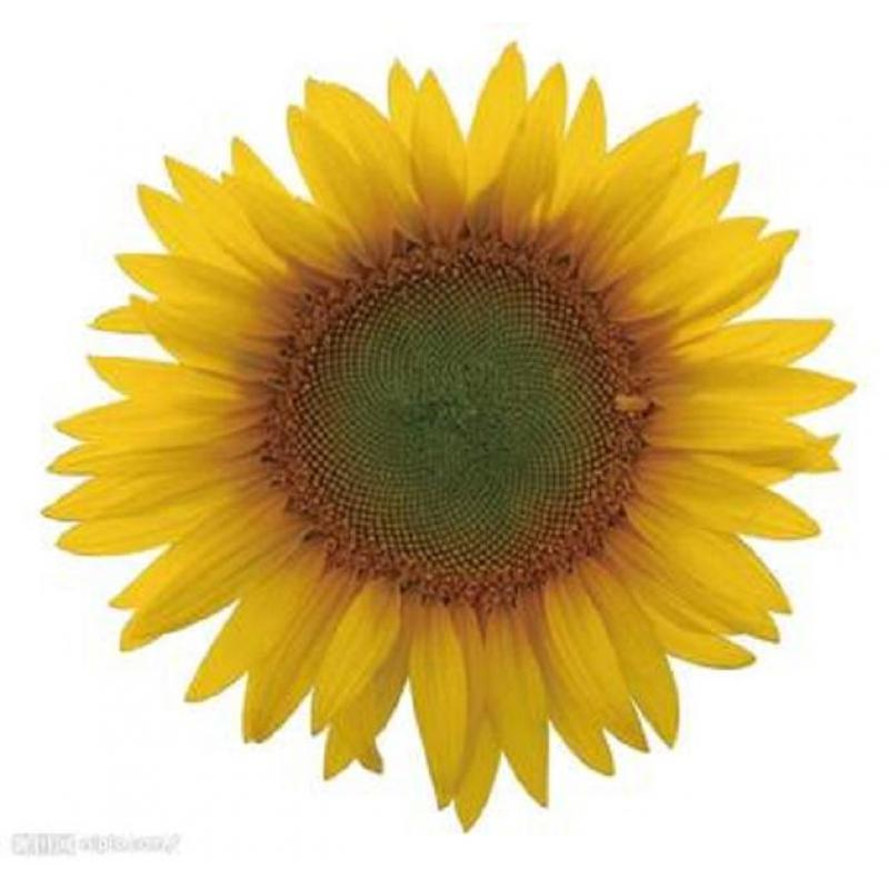 向日葵花保色浸制标本