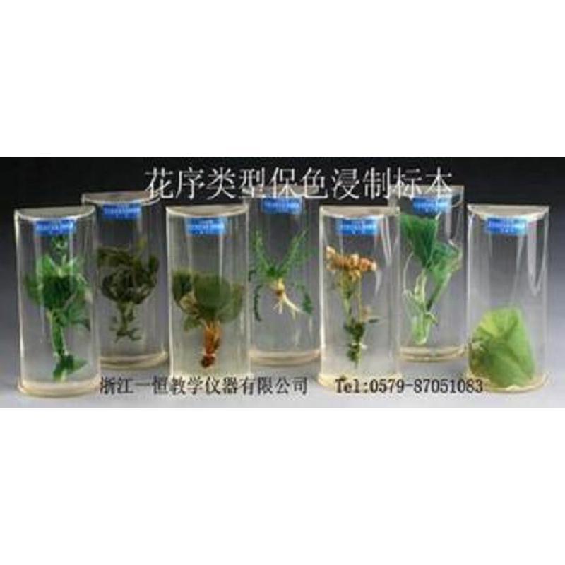 有限花序四类保色浸制标本