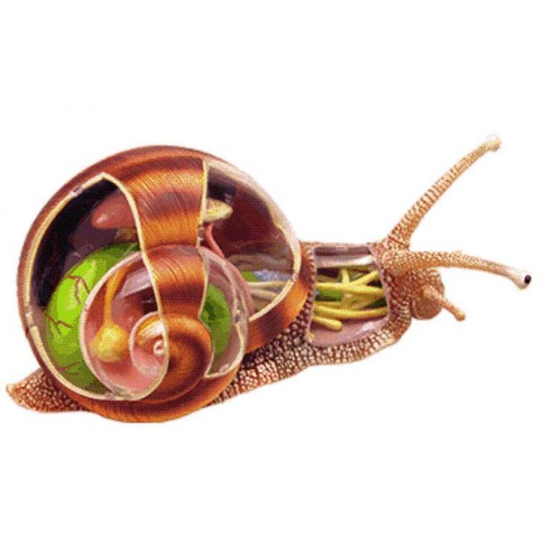 蜗牛解剖模型
