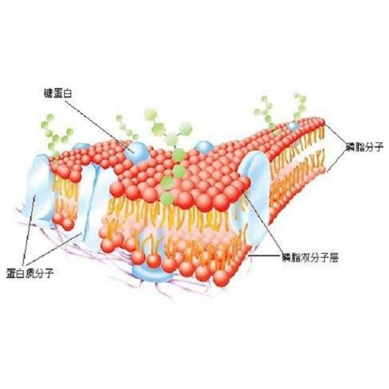 细胞膜结构模型