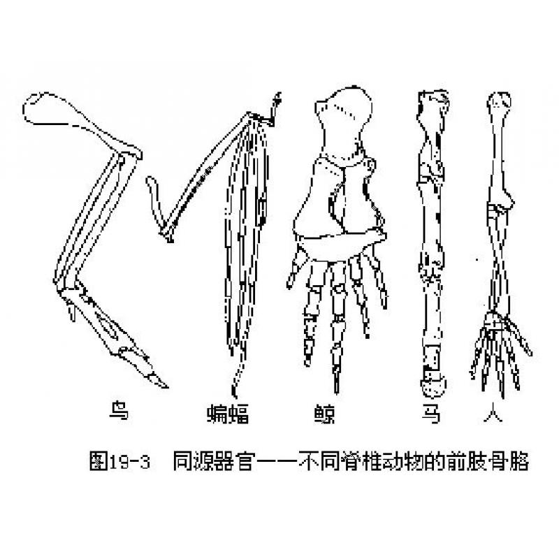脊椎动物前肢骨骼比较模型(人 马 鲸 鸟 蝠)