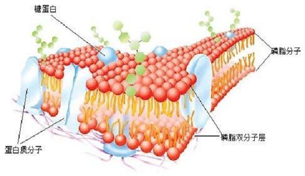 美国 商城/细胞膜结构模型