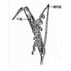 稻瘟病菌装片