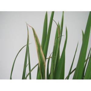 稻白叶枯病菌装片