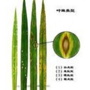 水稻纹叶病