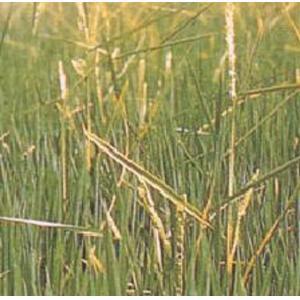 水稻恶苗病菌装片