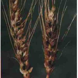 小麦腥黑穗病装片(网腥)