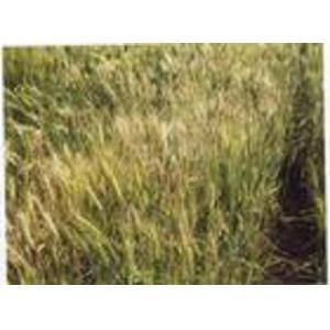 小麦全蚀病装片 (无性)