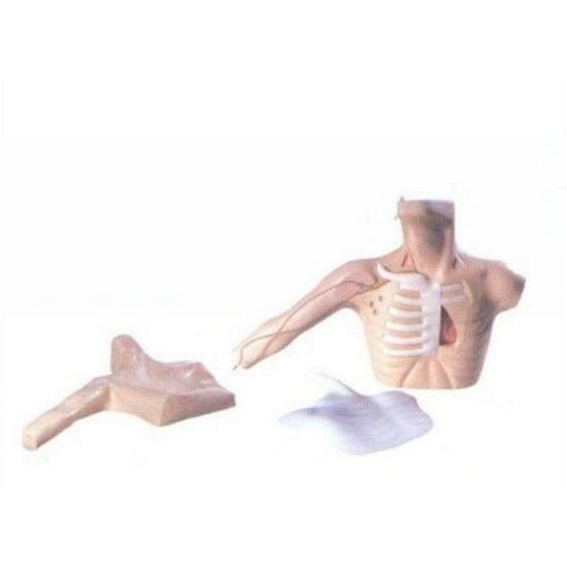 GD/L69C外周穿刺、中心静脉穿刺插管模型 (皮肤和血管可更换,进针时有明显的落空感)