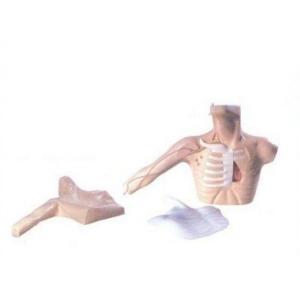 GD/L69C外周穿刺、中心静脉穿刺插管模型 (皮肤和血管可