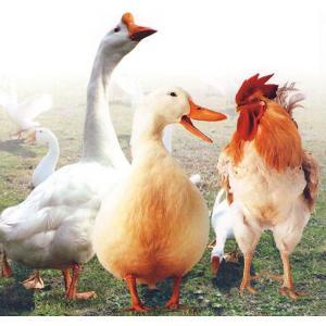 鸡传染性贫