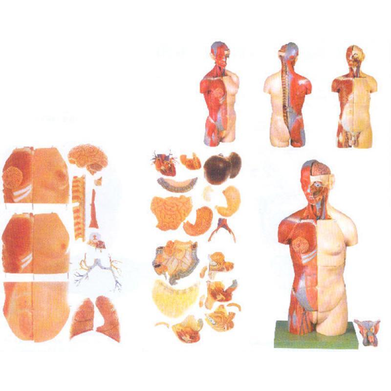 GD/A10003男性、女性外两性互换肌肉内脏背面开放式头颈躯干模型(自然大,高83cm,宽36cm,深20cm,进口PVC材料)