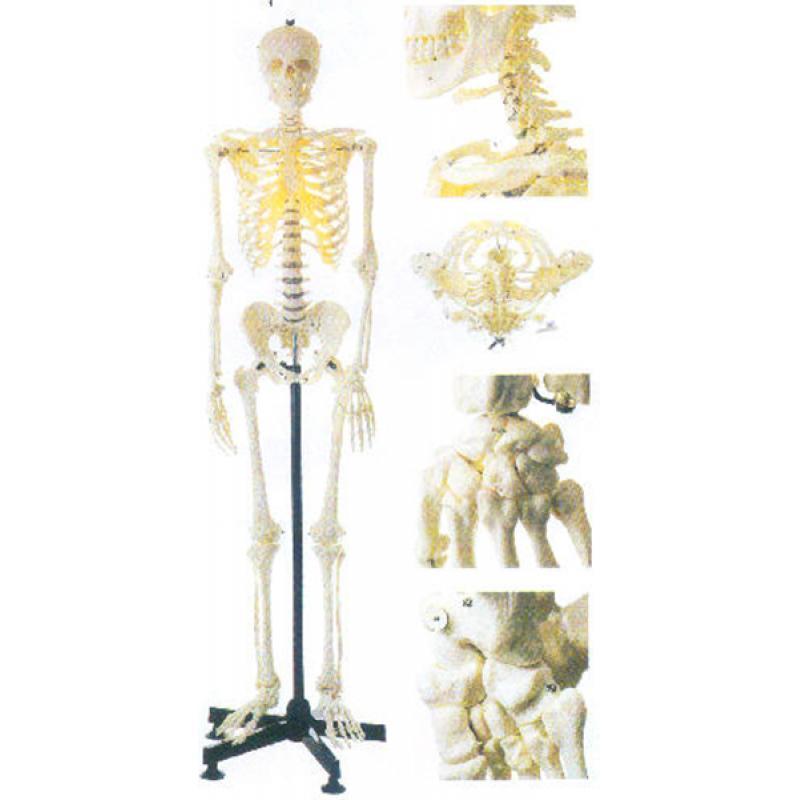 GD/A11101/2女性全身骨骼模型(162cm,进口PVC材料)