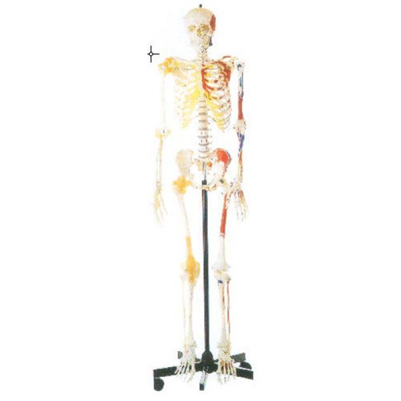 GD/A11102/1男性全身骨骼附半身肌肉着色附韧带模型(168cm 材质:进口高分子,进口油漆)