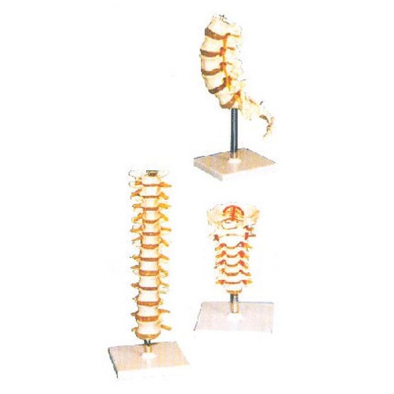 GD/A11108胸椎模型(尺寸:自然大,固定在基板上,材质
