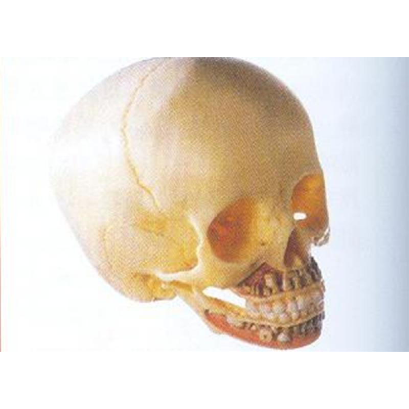 11114儿童头颅骨模型 材质 进口PVC材料,进口油漆 尺寸 自然大,