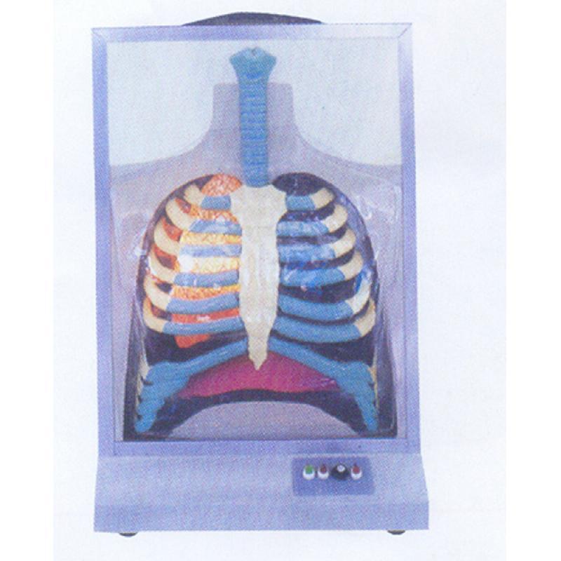 GD/A13015电动人体呼吸系统模型(尺寸: 490×230×910mm 进口pvc材料)