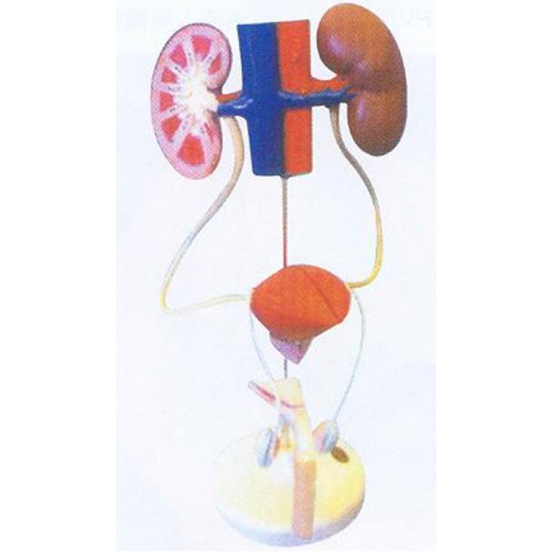 GD/A14003男性泌尿系统模型(尺寸:为自然尺寸,模型置于基板上,高40cm,宽28cm,深10cm 进口pvc材料)
