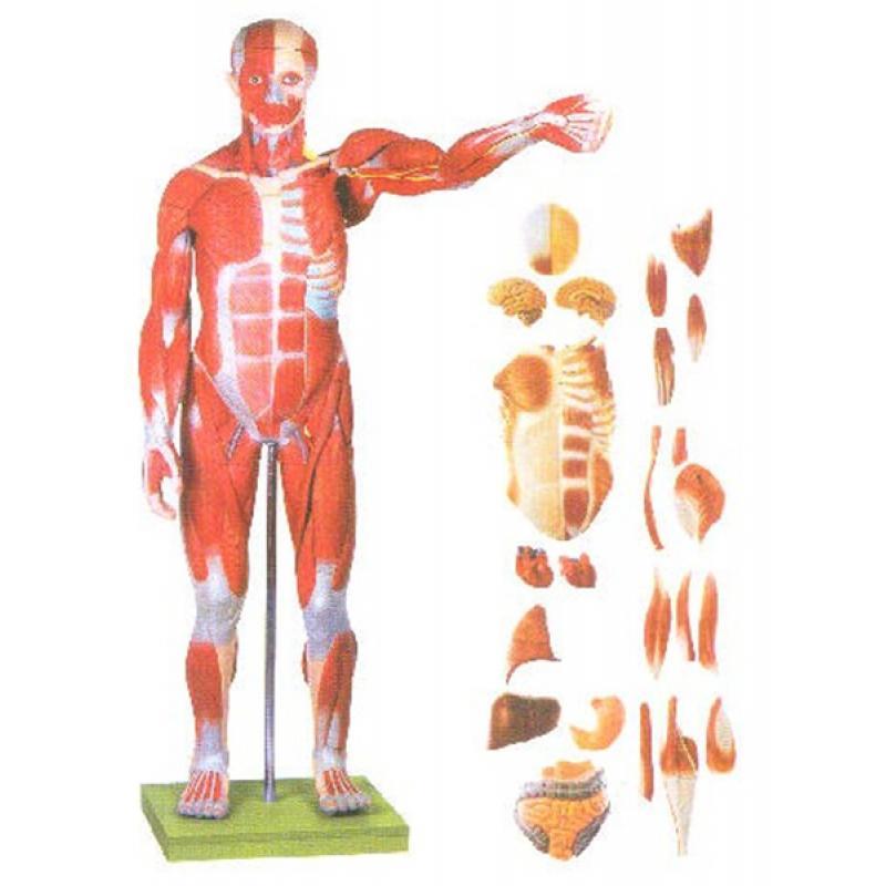 GD/A11301/2人体全身肌肉附内脏模型(尺寸:自然高170cm ,宽86cm ,深24cm 材质:进口PVC 材料)
