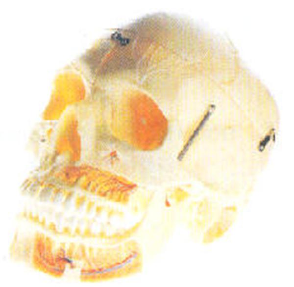 11113成人头颅骨附血管神经模型 尺寸 自然大,20 13 18cm 人体解