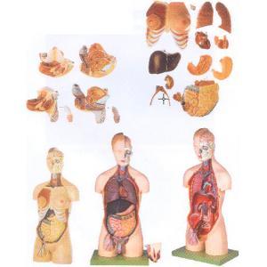 GD/A10002男性、女性外两性互换人体头颈躯干模型(尺寸:高85cm 宽37cm,深19cm 进口pvc材料)