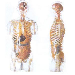 GD/A10004透明半身躯干附内脏模型(高105cm 进口