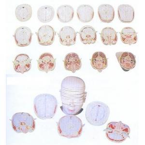 GD/A30001人体头颈部横切面断层解剖模型(17片,每片