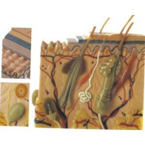 GD/A41002皮肤组织结构放大模型 (尺寸:放大约70倍,高23cm,宽22cm,厚11cm)