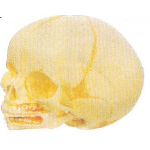 GD/A11115婴儿头颅骨模型(2部分,进口pvc材料)