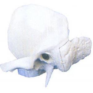 GD/A11119颞骨放大模型 (尺寸:400×420×30