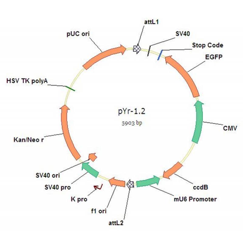 pYr-1.2-mU6-EGFP